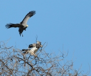 African hawk harrier attacs Martial eagle