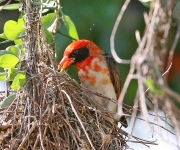 Red headed weaver bird