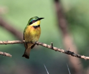 Little bee-eater