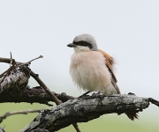 red bached shrike