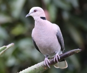 red eyed dove