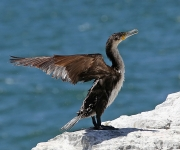 white fronted cormorant